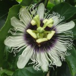 Flower of Passionfruit